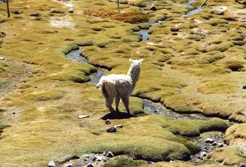 Lauca Alpaka
