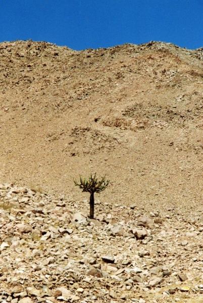 Lauca Kandelaber Kaktus