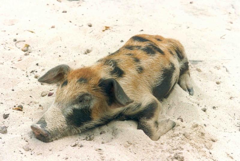 Haitianische Grenze - Schlafendes Schwein am Strand