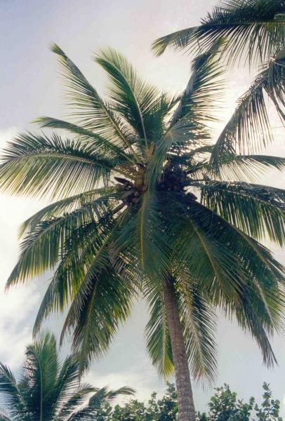 Las Terrenas - Strand mit Palme