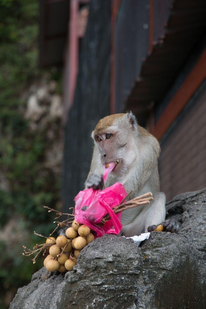 Diebischer Affe vor den Batu Caves in Kuala Lumpur