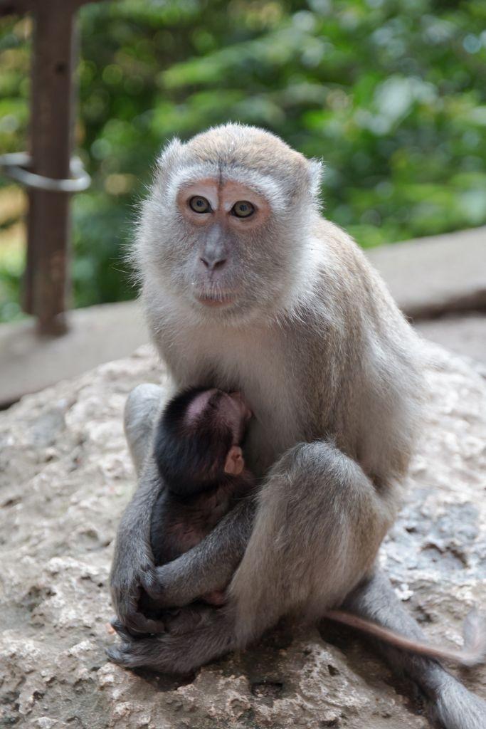 Affe vor den Batu Caves in Kuala Lumpur