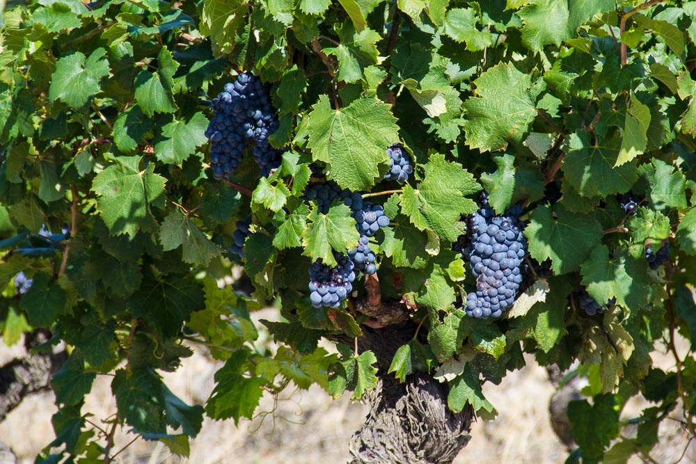 Wein, Marseillan-Plage, Languedoc