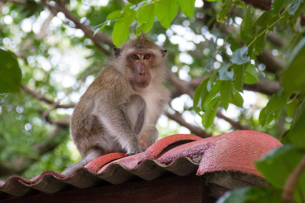 Thailand Ko Pha-Ngan Affe