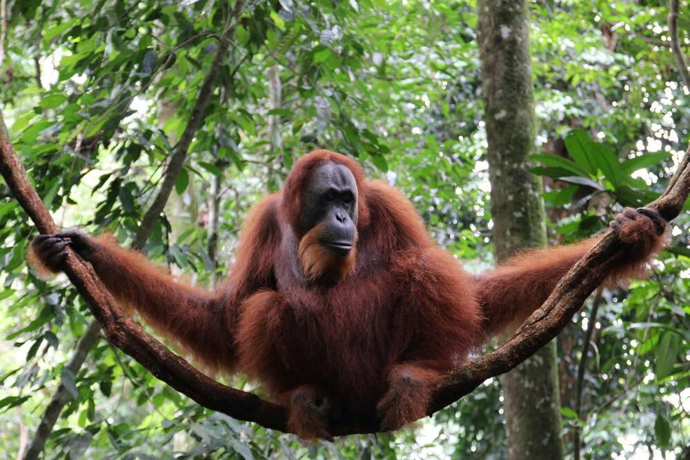 Indonesien - Bukit Lawang - Orang Utan im Gunung Leuser NP