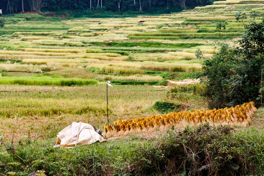 Tana Toraja Reisfelder und Reisgarben