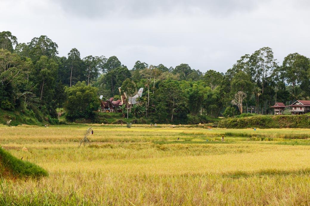 Tana Toraja Reisfelder