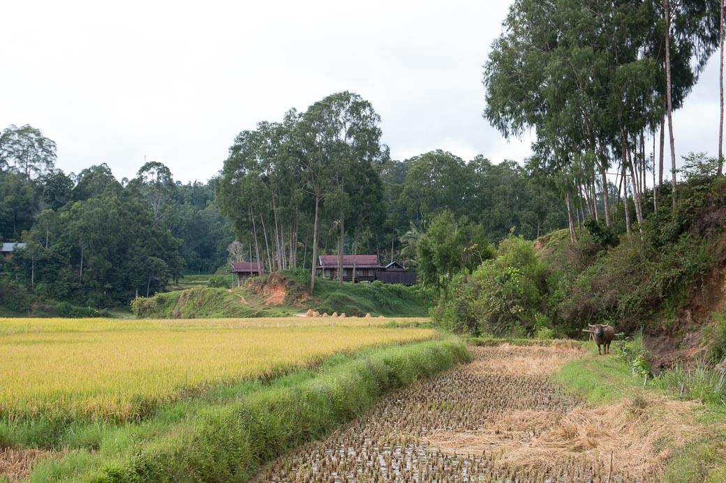 Reisfelder in Tana Toraja