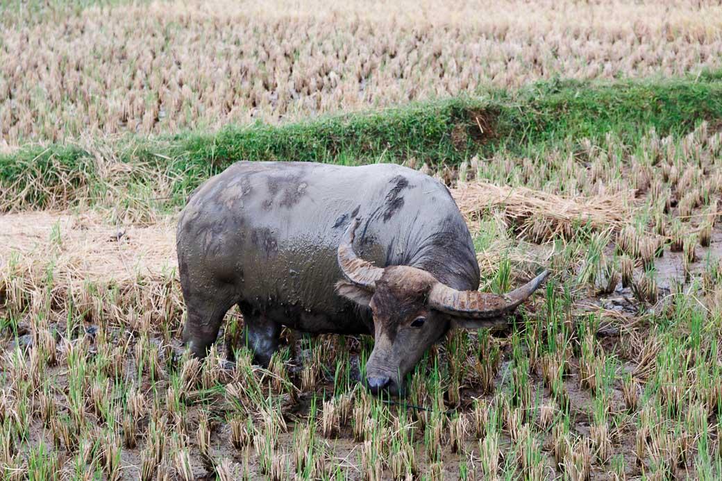 Büffel im Reisfeld