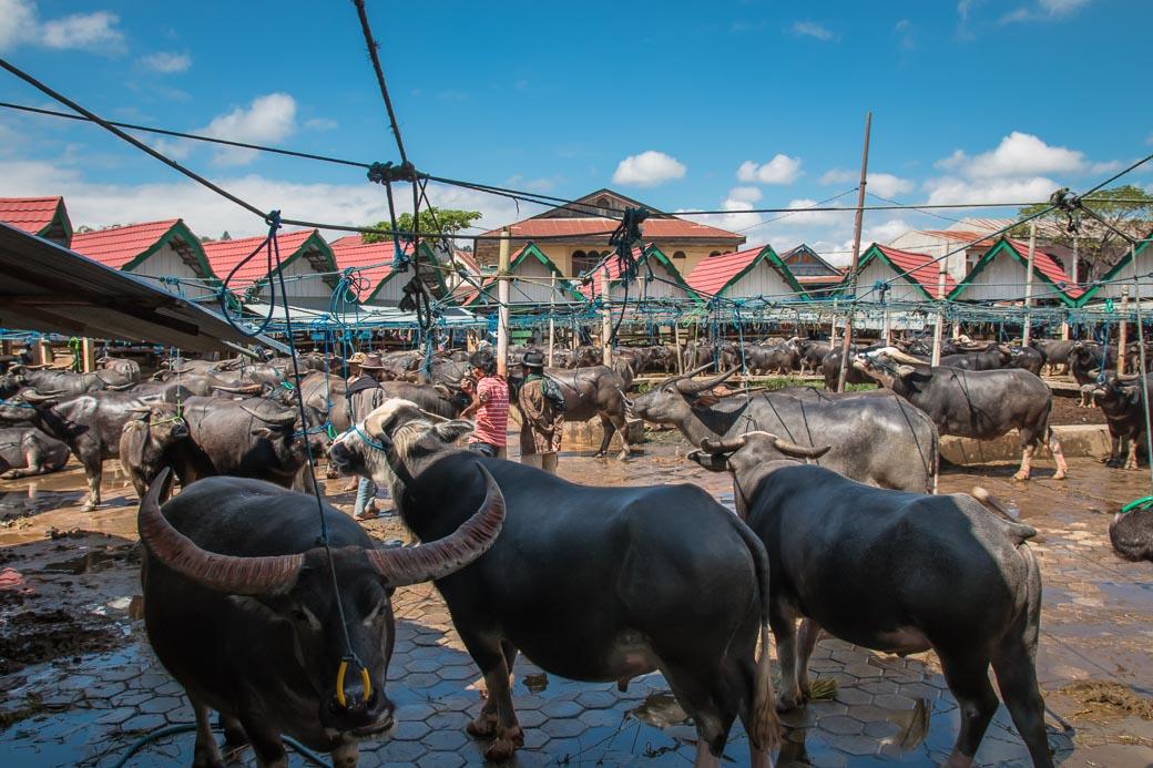 Der legendäre Büffelmarkt Pasar Bolu in Rantepao