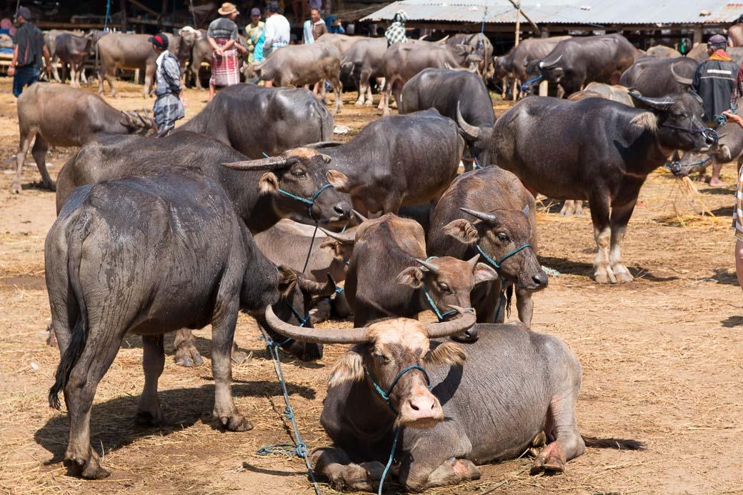 Büffel, Pasar Bolu