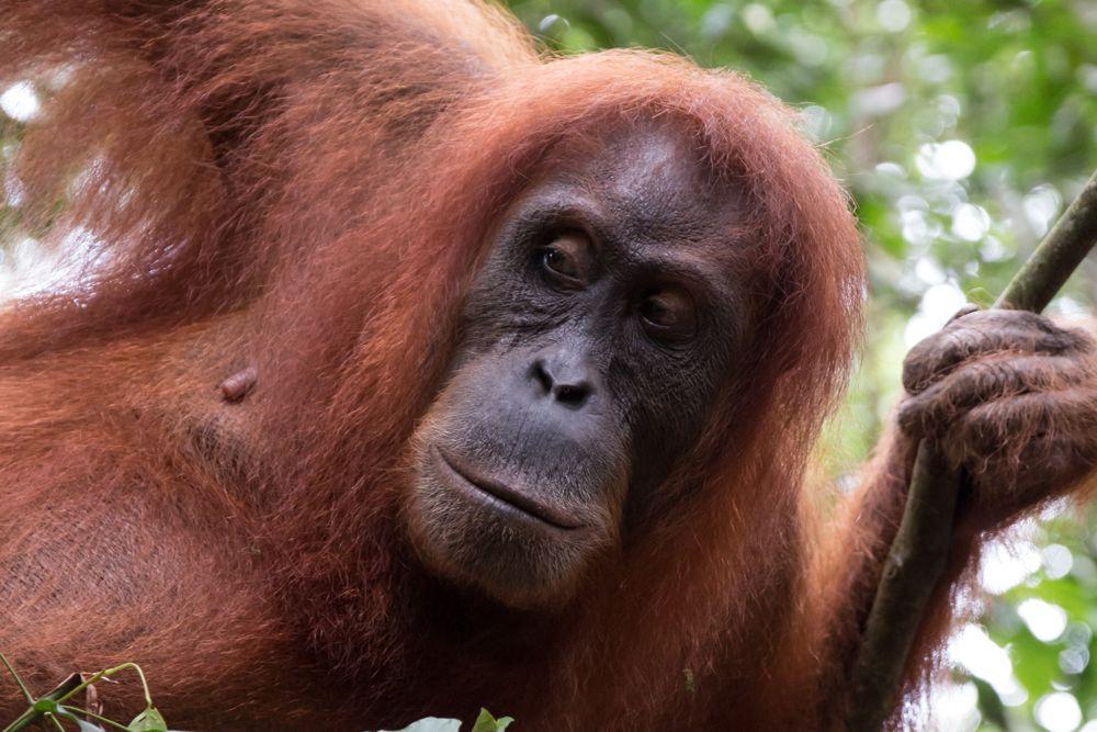 Hattest Du denn keine Angst vor dem Orang-Utan?