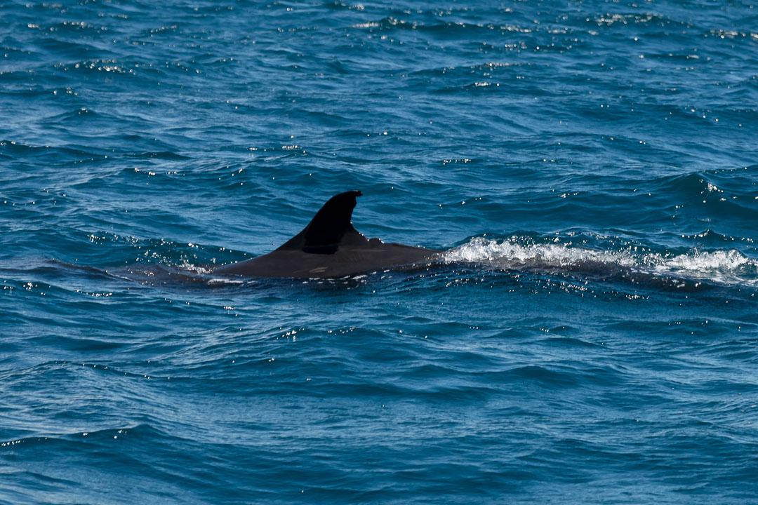 Delfin vor Pulau Tioman