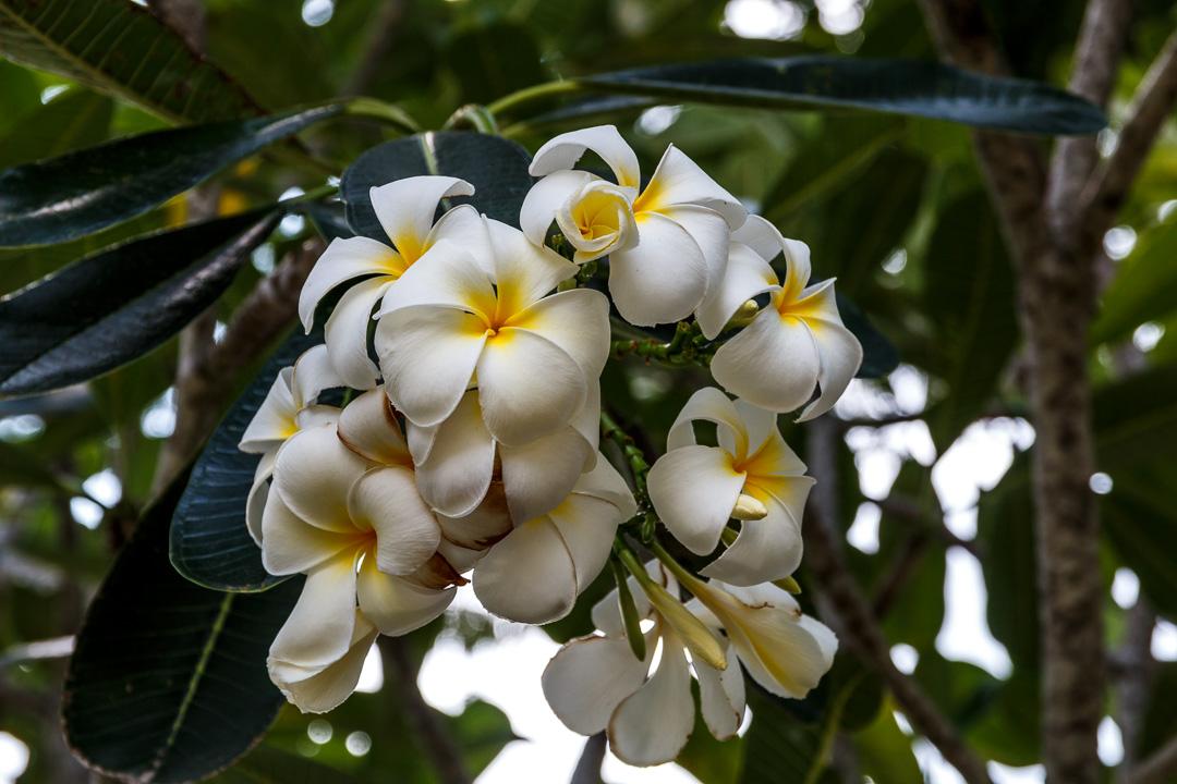 Frangipaniblüte, George Town, Malaysia