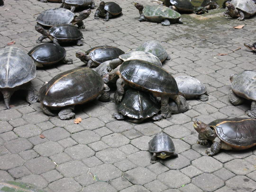 Schildkröten, Sam Poh Tong Tempel, Ipoh, Malaysia