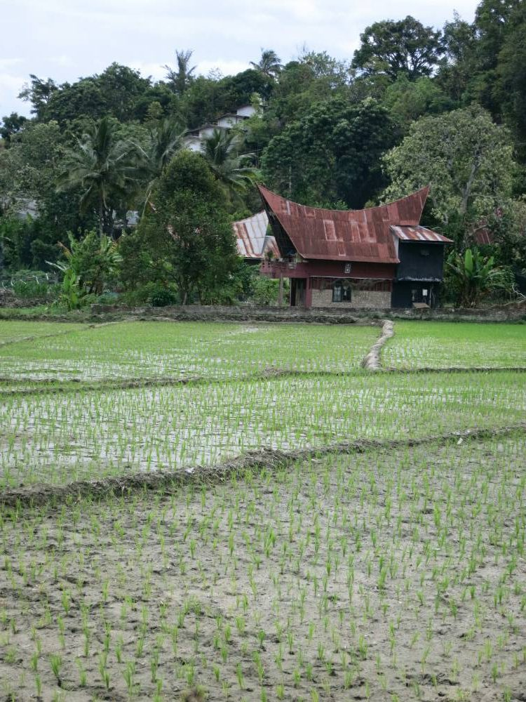 Samosir-Tour - Reisfelder auf Tuk-tuk