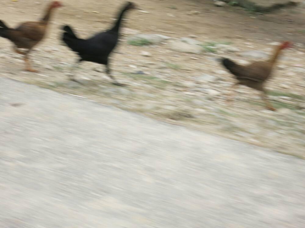 Samosir-Tour - Rennende Hühner