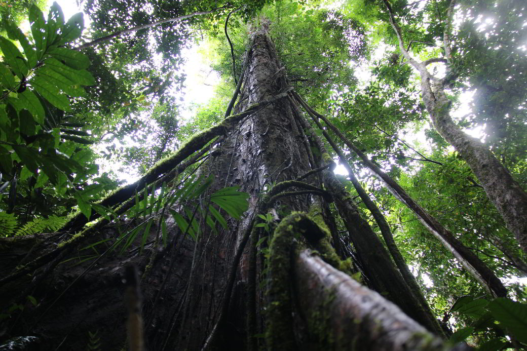 Tentena Salopa-Wasserfall Baum