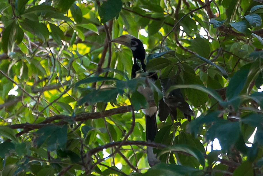 Nashorn-Vogel, Thailand