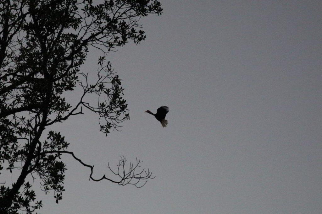 Togians Hornbill